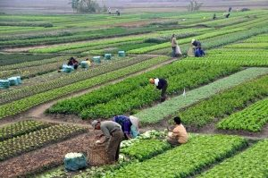 Agriculture_in_Vietnam_with_farmers-300x199
