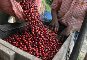 guatemala-coffee-producers-raw-beans-1-300x206
