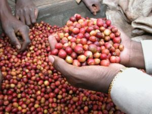 indian-coffee-beans