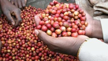indian-coffee-beans-360x240