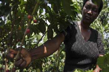 Uganda: The Government Promotes The Coffee Production