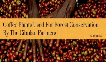 Coffee Plants Used For Forest Conservation By The Cibulao Farmers